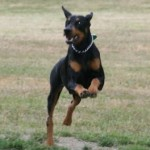Doberman corriendo