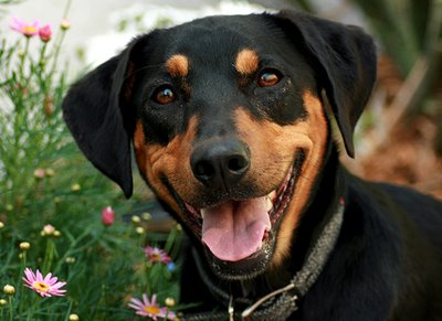 doberman-coonhound