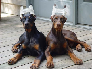 doberman-ears