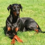 Doberman educado