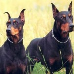 Dobermans guardianes